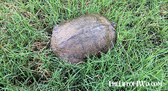 We found Ditch the Turtle in our front yard.