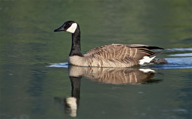 canada-goose_2174581b